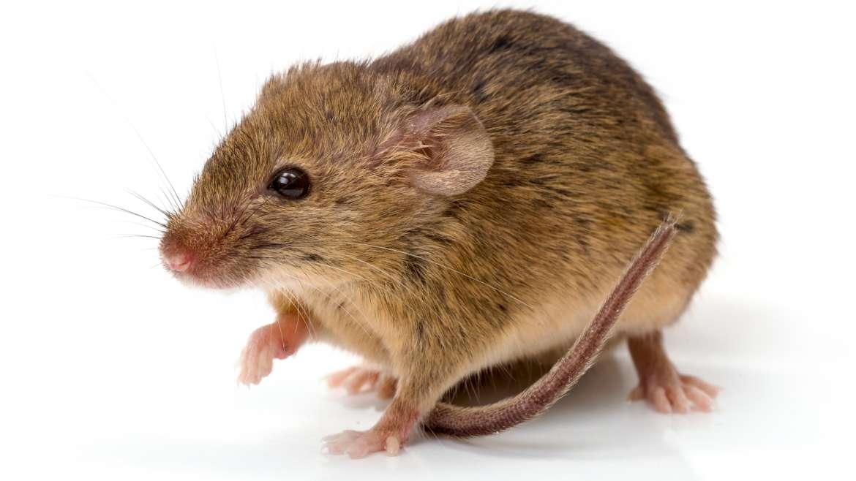 myszy i szczury