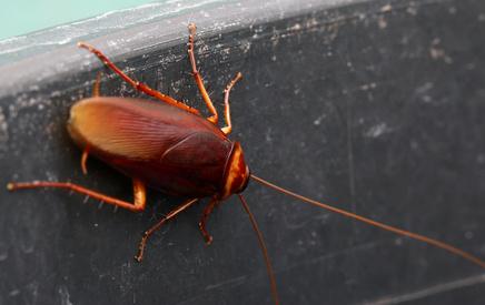 karaluchy zwalcznanie