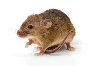 Deratyzacja house mouse mus musculus PZBGBFS 370x272 1