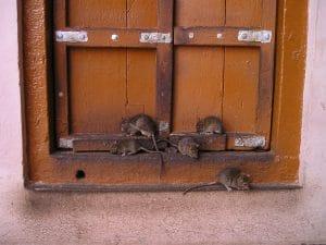 zwalczanie gryzoni, myszy i szczury